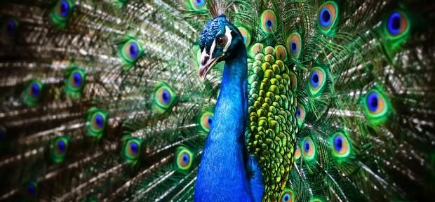 Ślub z motywem pawiego pióra – inspiracje